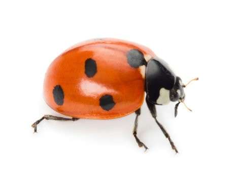 Lady Bug Divination